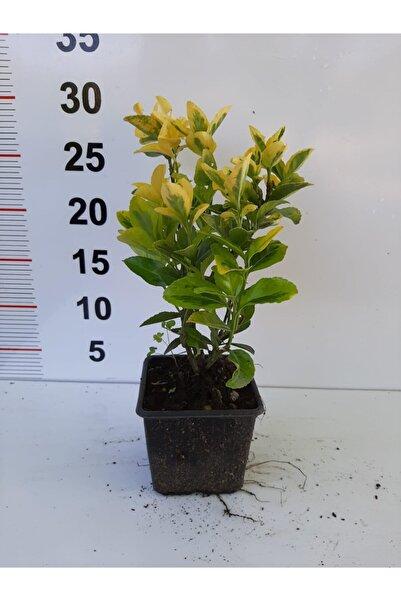 Enfidan Altuni Taflan 10 Adet - 20-30cm Boy