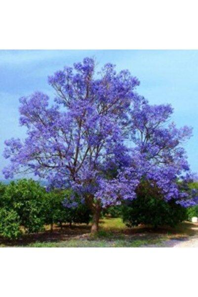 fidanciyiz Tüplü Mor Çiçekli Jakaranda Ağacı Fidanı(2m Ile 3m )