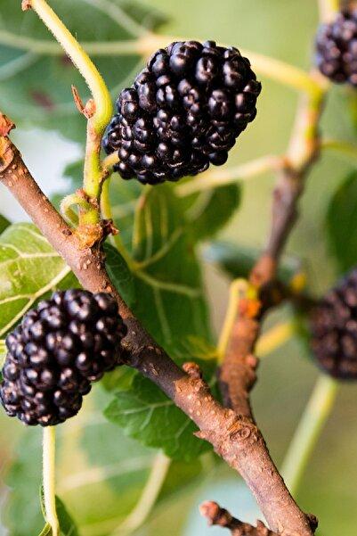 Yalova Fidan Market Boysenberry Böğürtlen Fidanı