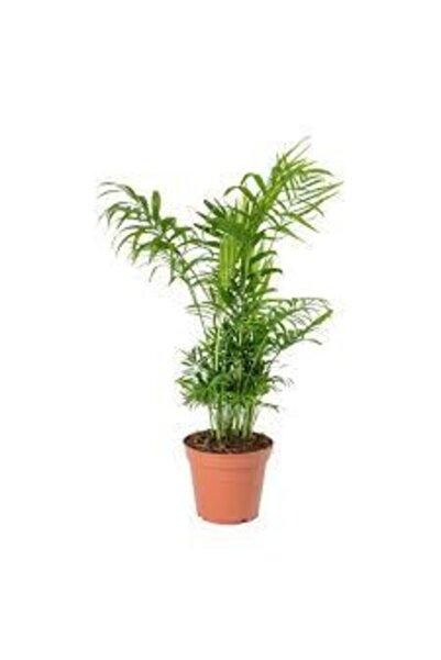 İthal Areka Palmiyesi Ev Ofis Salon Bitkisi Chamaedorea 8cm'lik Saksıda