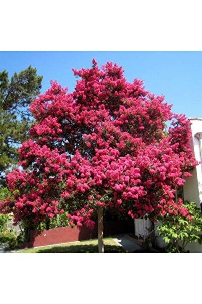 taşkar peyzaj Oya Ağacı Fidanı Pembe ( Tüplü) 30 -40 Cm