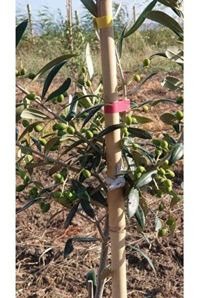 Bahçecim Tüplü Arbequına (Bodur) Zeytin Fidanı 2yaş (Evde Saksıda Yetiştirilmeye Uygun)
