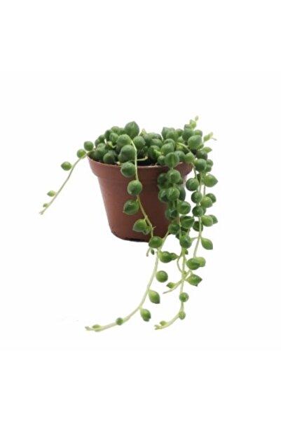 GreenSpring Senecio Rowleyanus Tesbih Çiçeği 5.5 Cm Saksıda