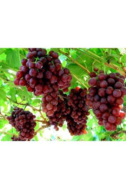 Ucuzluk Diyarı Crimson Seedles Üzüm Fidanı 1 Adet