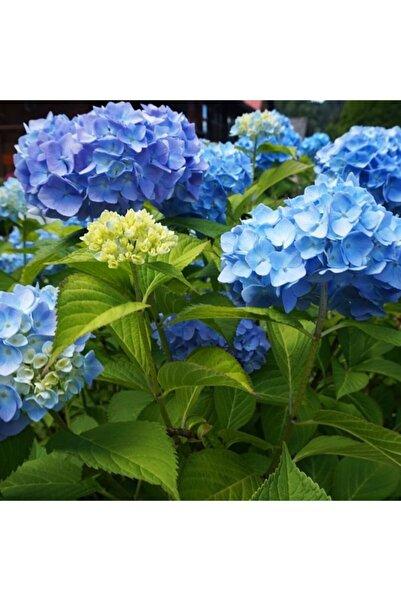 ÇİÇEKFLİX Tüplü Mavi Ithal Ortanca Fidanı 1.kalite Özel Ürün