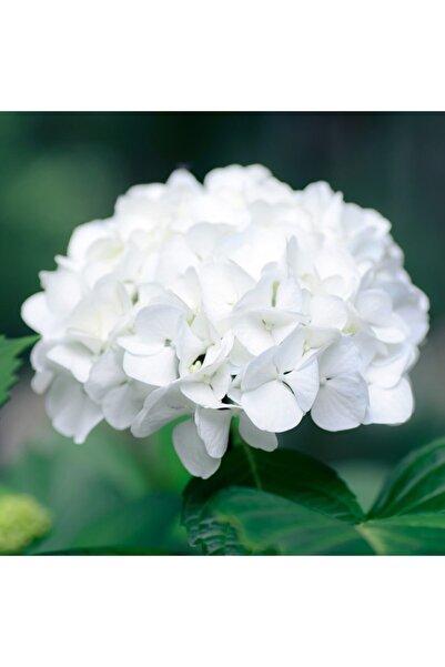 ÇİÇEKFLİX Tüplü Beyaz Ithal Ortanca Fidanı 1.kalite Özel Ürün