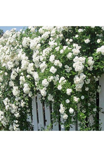 ÇİÇEKFLİX Beyaz Yediveren Aşılı Gül Fidanı Saksıda 150-120 cm