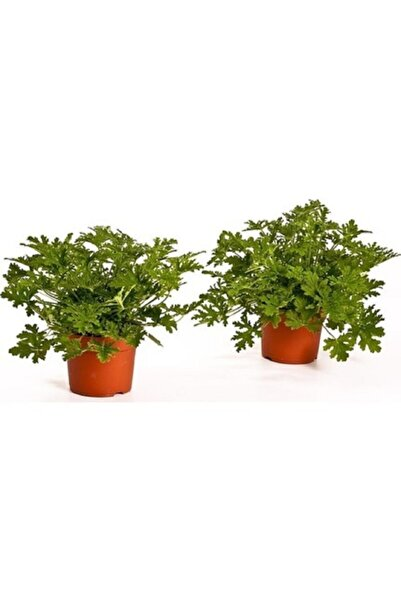 fidanistanbul Pelargonium Graveolens Itır Bitkisi, Saksıda