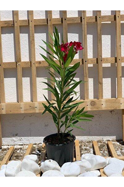 Berr Zakkum Çiçeği Çok Yıllık Dış Mekan Bitkisi