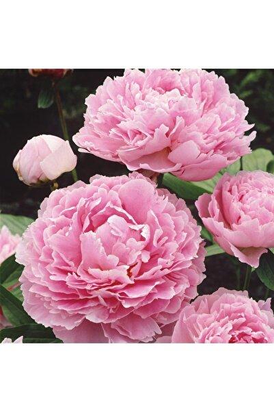 fidanistanbul Paeonia Sarah Bernhardt Açık Pembe Çiçekli Şakayık, 20-30 Cm, Ithal, Saksıda