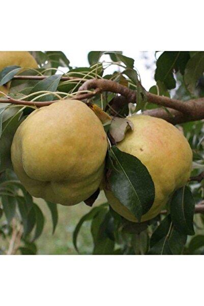 Tunç Botanik Deveci Armudu Fidanı 3 Adet Tüplü