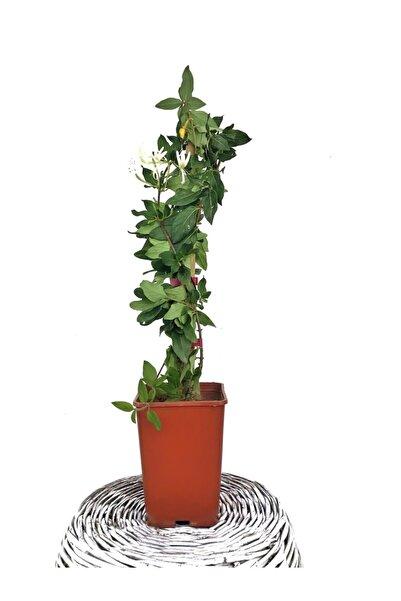 Fidanvar Hanımeli Çiçeği Kokulu Sarmaşık (LONİCERA) Bitki Toprağı (TORF)