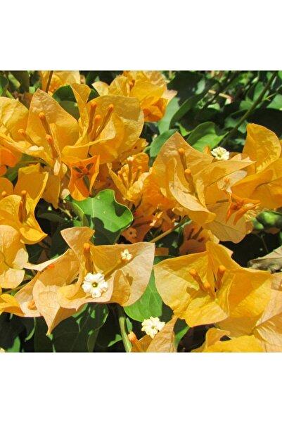 fidanistanbul Bougainvillea Spectabilis Yellow Sarı Begonvil Fidanı 60-80 cm Saksıda