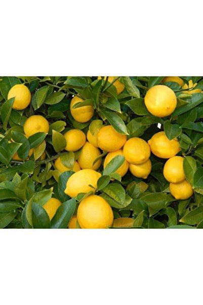 Evimdeki Bahçem Saksı Yetiştiriciliğine Uygun Yediveren Limon Fidanı