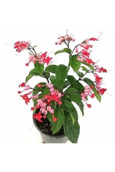 ruzgarbotanik Kırmızı Kızılay Çiçeği Fidanı 60 cm