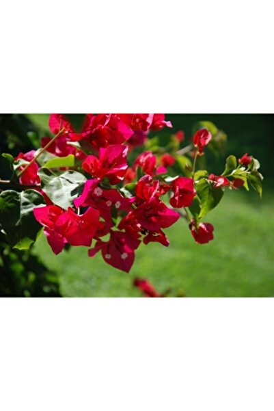 ruzgarbotanik Kırmızı Begonvil Çiçeği Fidanı 60 Cm Saksılı