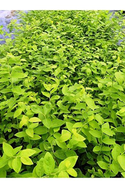 EkizFidan Duke Yaban Mersini (blueberry) Fidanı