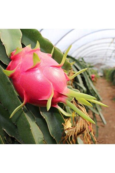ASES 2 Adet Tüplü 1 Yaş 70-90 cm Kırmızı Pitaya Ejder Meyvesi
