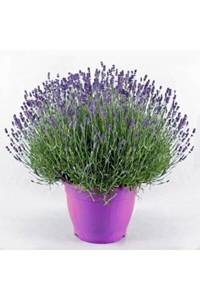 Bitki Dizayn Saksıda Mor Çiçekli Kokulu Lavanta Fidanı