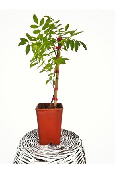 Fidanvar Mor Salkım Çiçeği Sarmaşık 40-50 cm