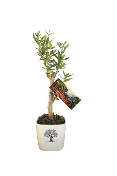 Fideland Mini Saksılı Zeytin Fidanı Yeşil