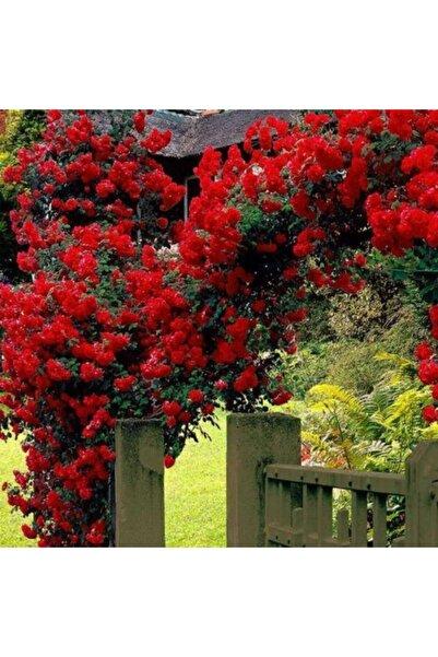 ruzgarbotanik 3 Adet Kırmızı Çardak Gülü Çiçeği Fidanı 120 cm