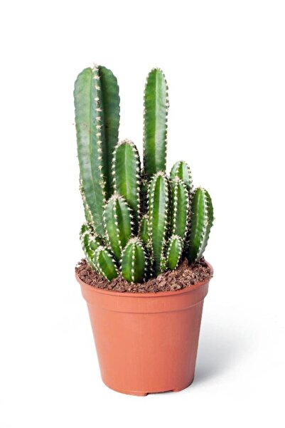 Cemre Garden Cereus Peruvianus Florida - Radyasyon Emici Kaktüs Sukulent - Ev Ofis Salon Iç Mekan Bitkisi