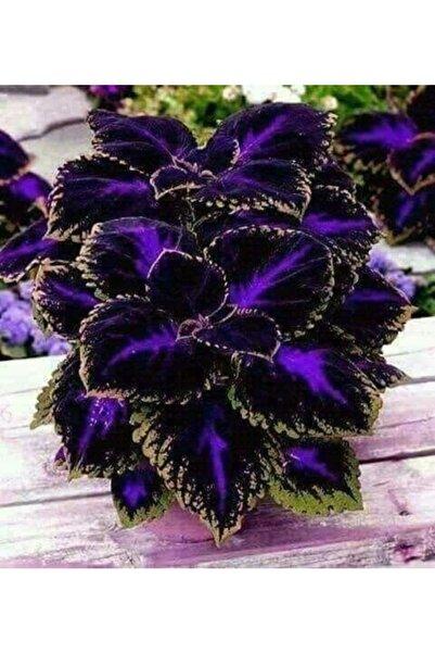 GARDENYA TOHUMCULUK 10 Adet Özel Kolyos (yaprak Güzeli) Çiçek Tohumu