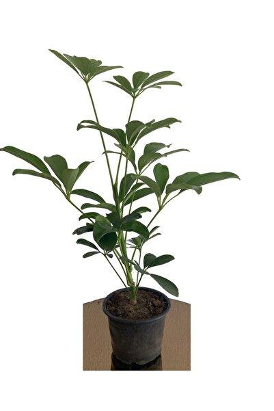 Tulipa Şeflera 25-35 Cm (SCHEFFLERA) Bitikisi