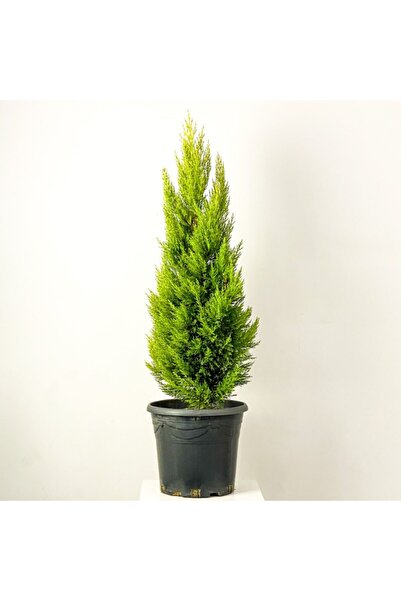 Fidanburada Limon Servi (cupressus Macrocarpa Goldcrest) 100cm