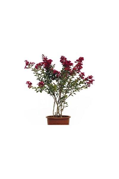 ÇİÇEKFLİX Kırmızı Oya Ağaci Agaci Fidani 1. Kalite 60 80 Cm