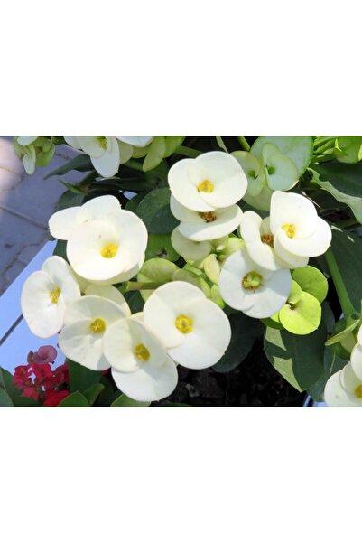 Ucuzluk Diyarı 1 Adet Beyaz Dikenler Tacı Fidanı Ithal Euphorbia Milli