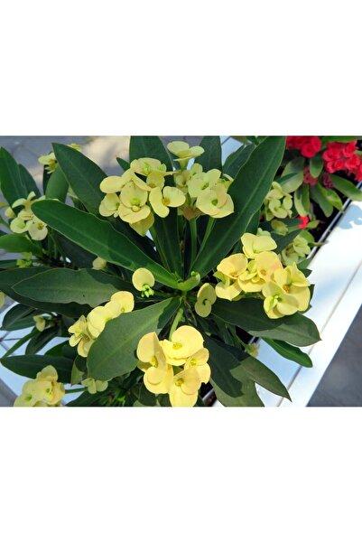 çilekdiyarii 1 Adet Sarı Dikenler Tacı Fidanı Ithal Euphorbia Milli