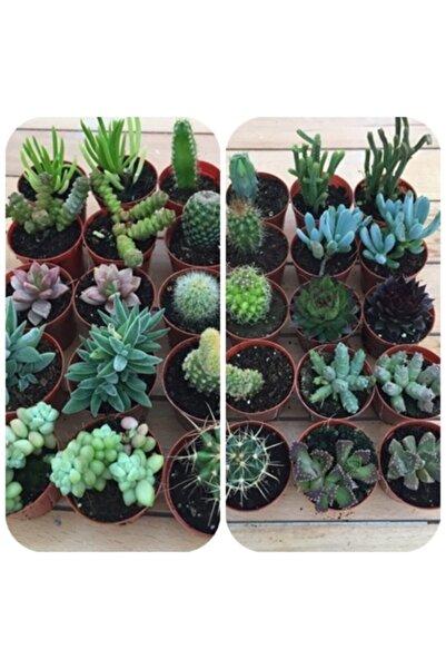 My Succulent Sukulent Ve Kaktüs 20 Adet Hediyelik Bitki Duble Mix 2'li Karışık Set, Cactus,succulent,skulent