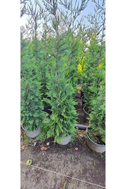 rosa botanik fidancılık 110 170 cm Arası Dolgun Leylandi