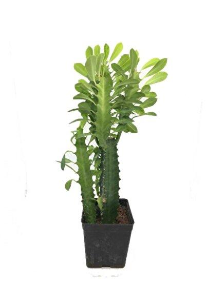Sukulent Çeşitleri Euphorbia Trigona Süt Ağacı Büyük Boy