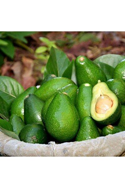 tropik online 20 Adet Avokado -taze Alanya Avokadosu