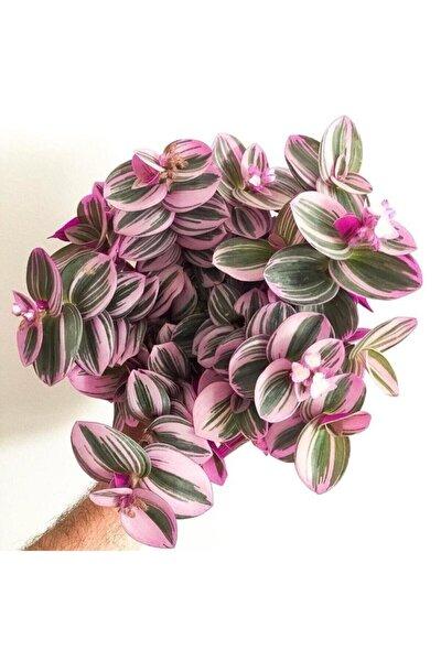 kaplanfidan Telgraf Çiçeği Nanouk Zebrina Sukulent 5,5 Cm 1.kalite