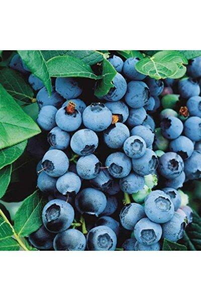 Ucuzluk Diyarı Yaban Mersini ( Lipaka Bonus Blueberry ) Fidanı Tüplüdür