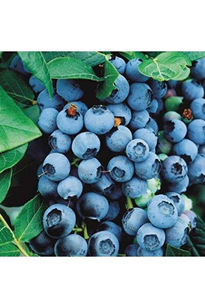çilekdiyarii Yaban Mersini ( Lipaka Bonus Blueberry ) Fidanı Tüplüdür