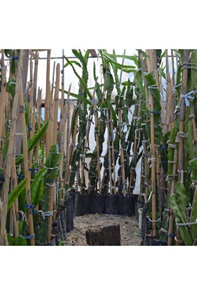 ASES Tüplü 2 Yaş Kırmızı Pitaya Ejder Meyvesi(meyve Vermeye Hazır)110-130cm