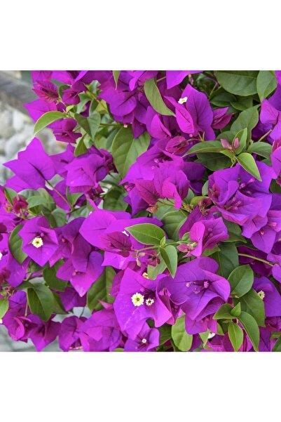 ÇİÇEKFLİX Begonvil Sarmaşık Soğuklara En Dayanıklı Tür /şuan Çiçeksizdir
