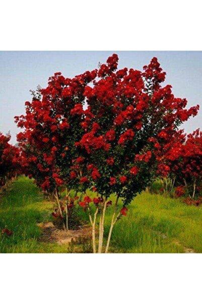 taşkar peyzaj Oya Ağacı Fidanı Kırmızı ( Tüplü) 30 - 40 Cm