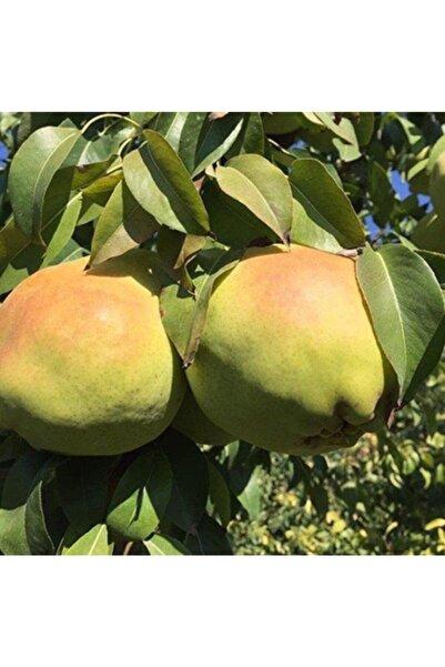 Mutlu Paket Tüplü Aşılı Çok Iri Meyveli Deveci Armut Fidanı