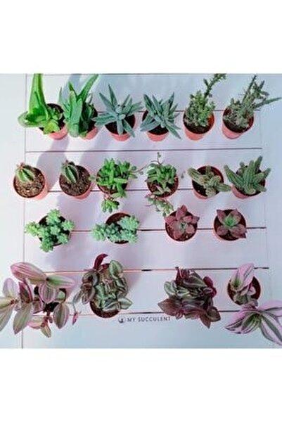 Sukulent Ve Kaktüs 20 Adet Hediyelik Bitki Duble Mix 2'li Karışık Set, Cactus,succulent,skulent