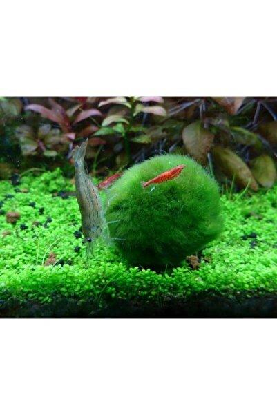 Sakura ( Marimo Şans Getiren Yosun Topu) Mossball 3-5 Cm