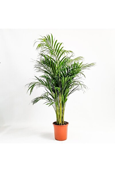 İç mekan bitkileri Areka Palmiyesi 100 Cm. Salon Palmiyesi