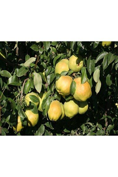 E-fidancim Tüplü Dev Meyveli Yarıbodur Deveci Armut Fidanı