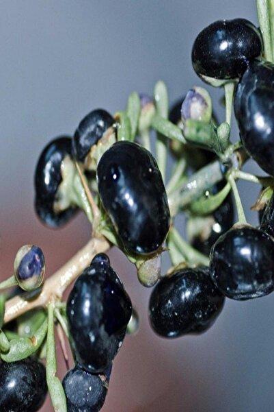 EvveBahce Tüplü Nadir Bulunan Siyah Goji Berry Fidanı Sınırlı Stok