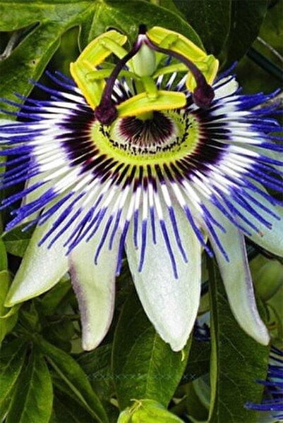 Pasiflora Çarkıfelek Çiçek Tohumu 5 Adet Doğal Tohum Saksı+torf Hediye Ev Bahçe Için Ideal